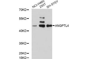 Western Blotting (WB) image for anti-Angiopoietin-Like 4 (ANGPTL4) antibody (ABIN1870977)
