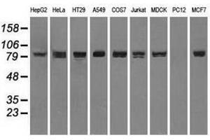 image for anti-Signal Transducer and Activator of Transcription 1, 91kDa (STAT1) antibody (ABIN1501169)