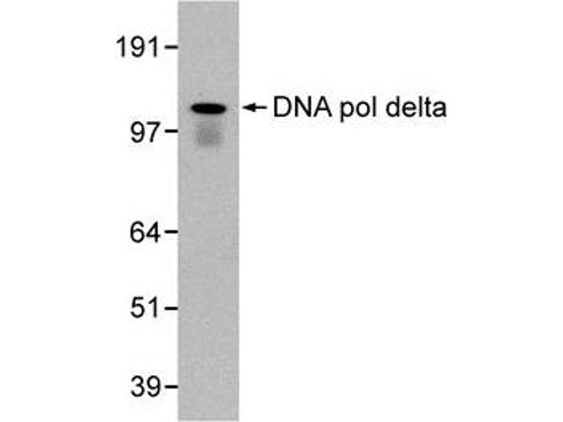 Western Blotting (WB) image for anti-Polymerase (DNA Directed), delta 1, Catalytic Subunit 125kDa (POLD1) antibody (ABIN151923)