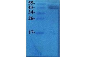Western Blotting (WB) image for anti-Vascular Endothelial Growth Factor A (VEGFA) antibody (ABIN2506673)