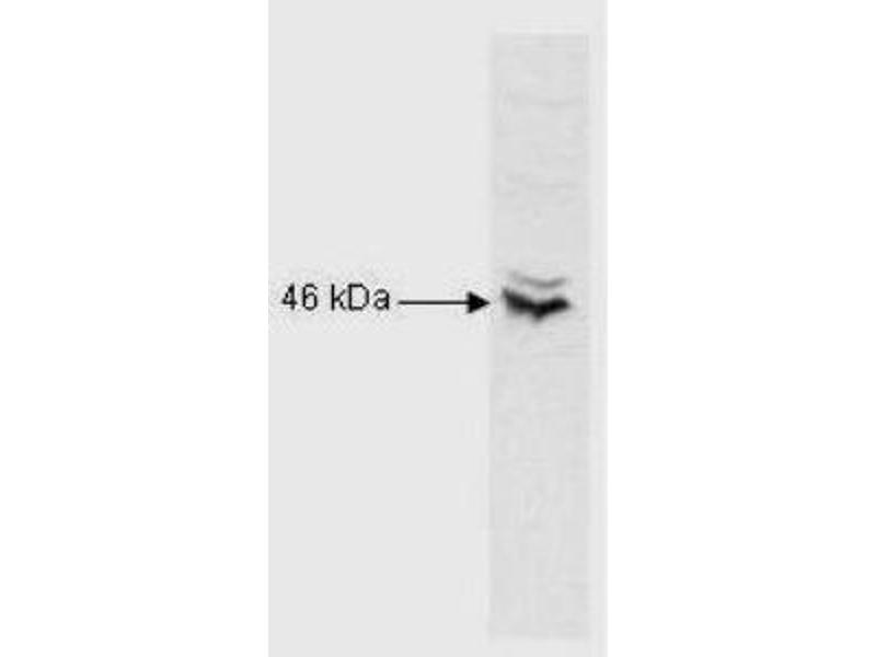 Western Blotting (WB) image for anti-cAMP Responsive Element Binding Protein 1 (CREB1) (AA 5-45), (N-Term) antibody (ABIN269747)