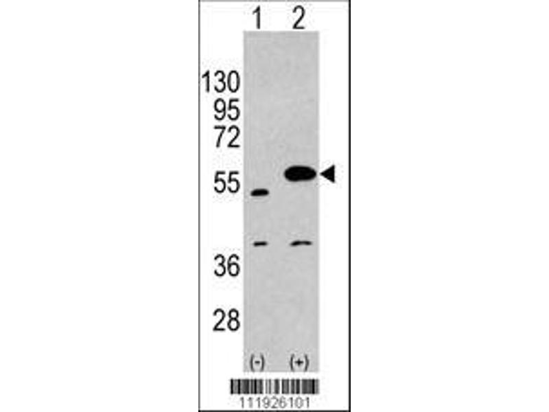 Western Blotting (WB) image for anti-Sprouty-Related, EVH1 Domain Containing 1 (SPRED1) (AA 302-331), (C-Term) antibody (ABIN388229)