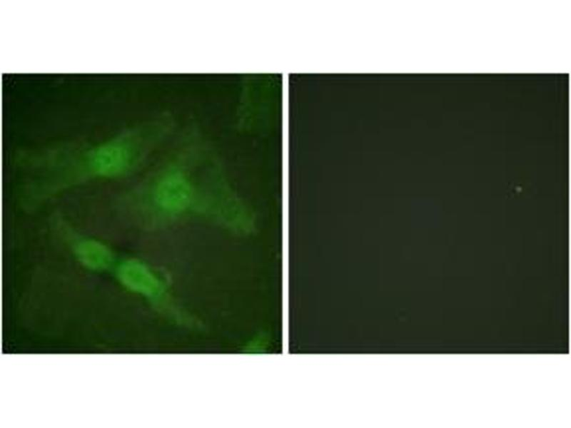 Immunofluorescence (IF) image for anti-Protein Kinase C, zeta (PRKCZ) (AA 376-425), (pThr410) antibody (ABIN1531192)