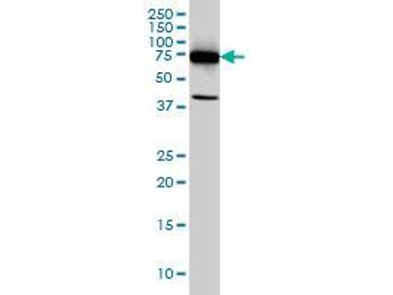 Western Blotting (WB) image for anti-DEAD (Asp-Glu-Ala-Asp) Box Polypeptide 3, Y-Linked (DDX3Y) (AA 1-81) antibody (ABIN394152)