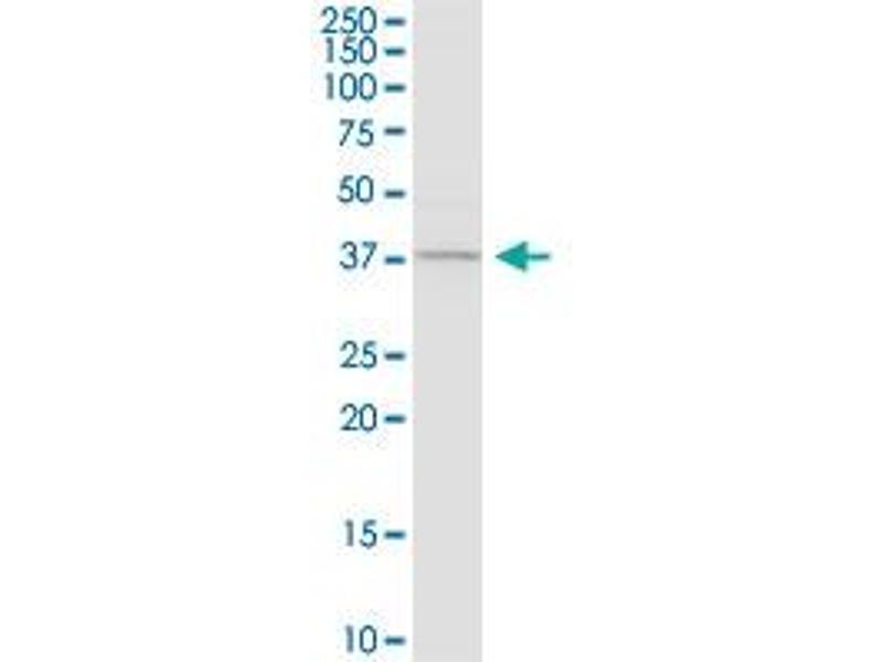 Western Blotting (WB) image for anti-Caspase 4, Apoptosis-Related Cysteine Peptidase (CASP4) (AA 1-377), (full length) antibody (ABIN1326998)