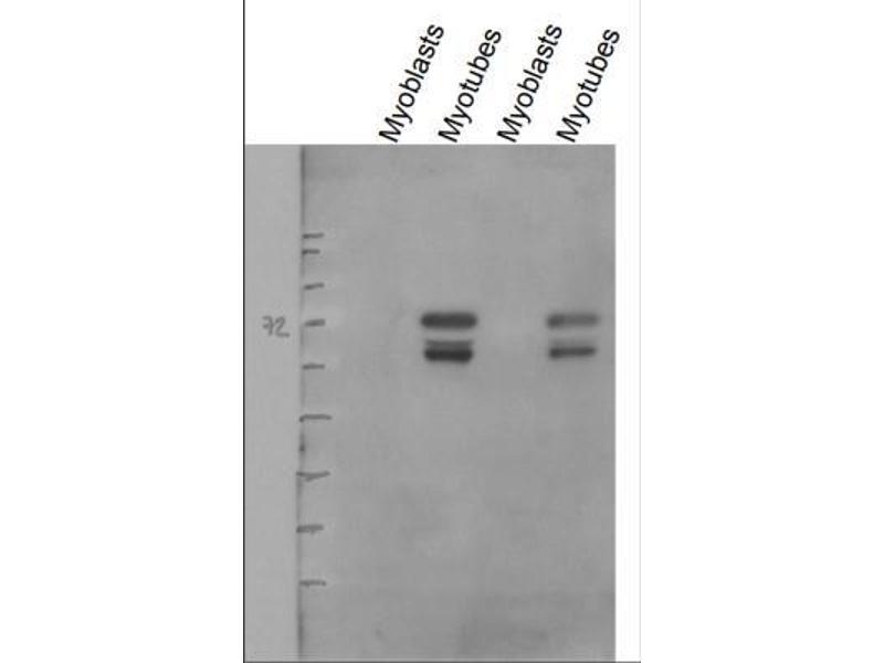 Western Blotting (WB) image for anti-CD36 Molecule (thrombospondin Receptor) (CD36) (AA 100-200) antibody (ABIN152911)