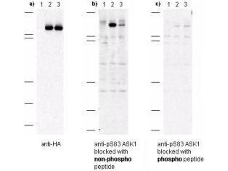 Image no. 1 for anti-Mitogen-Activated Protein Kinase Kinase Kinase 5 (MAP3K5) (AA 76-87), (pSer83) antibody (ABIN95283)