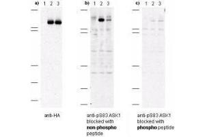 Image no. 1 for anti-Mitogen-Activated Protein Kinase Kinase Kinase 5 (MAP3K5) (AA 76-87), (pSer83) antibody (ABIN95283)