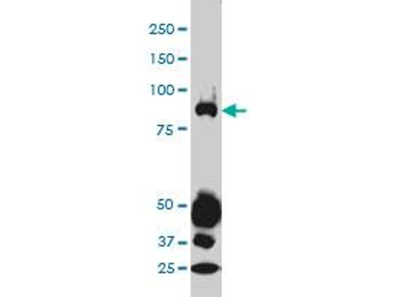 Western Blotting (WB) image for anti-Signal Transducer and Activator of Transcription 4 (STAT4) (AA 1-748) antibody (ABIN563030)