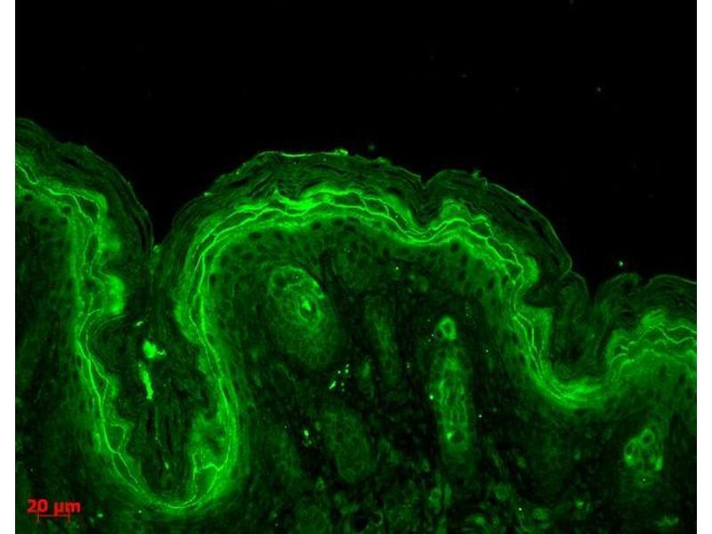 Immunohistochemistry (IHC) image for anti-Mitogen-Activated Protein Kinase 3 (MAPK3) antibody (Atto 488) (ABIN2486605)