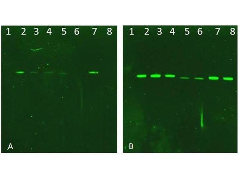 Image no. 3 for V-Akt Murine Thymoma Viral Oncogene Homolog 2 (AKT2) protein (ABIN5624570)