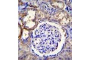 Image no. 1 for anti-Family with Sequence Similarity 96, Member A (FAM96A) (AA 116-146), (C-Term) antibody (ABIN952259)