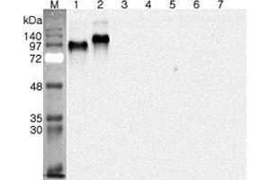 Image no. 1 for anti-delta/notch-Like EGF Repeat Containing (DNER) antibody (ABIN1169416)