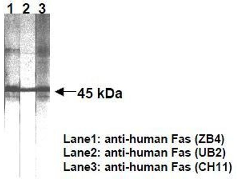 Western Blotting (WB) image for anti-Fas (TNF Receptor Superfamily, Member 6) (FAS) antibody (ABIN1106613)