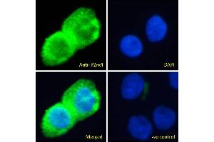 Image no. 2 for anti-Purinergic Receptor P2X, Ligand-Gated Ion Channel, 4 (P2RX4) (Internal Region) antibody (ABIN987282)