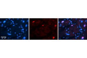 Image no. 2 for anti-POU Class 3 Homeobox 3 (POU3F3) (C-Term) antibody (ABIN2787443)