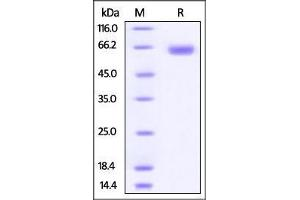 Image no. 1 for CD276 Molecule (CD276) (AA 29-245) protein (Fc Tag) (ABIN2870609)