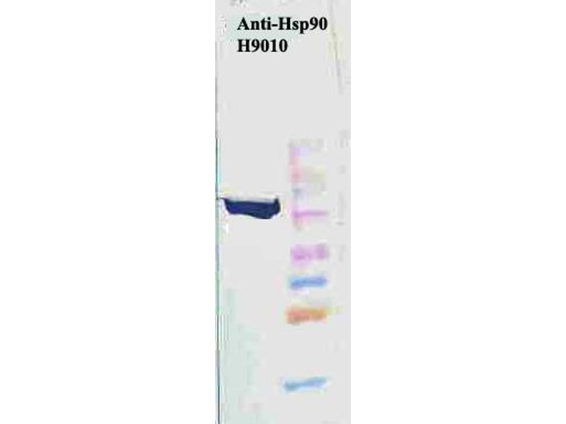 Western Blotting (WB) image for anti-HSP90 antibody (Heat Shock Protein 90) (ABIN361717)