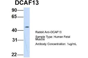 Image no. 2 for anti-DDB1 and CUL4 Associated Factor 13 (DCAF13) (N-Term) antibody (ABIN2786107)
