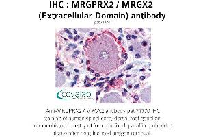 Image no. 1 for anti-G Protein-Coupled Receptor MRGX2 (MRGPRX2) (3rd Extracellular Domain) antibody (ABIN1737074)
