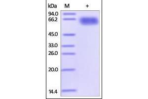 Image no. 1 for Programmed Cell Death 1 Ligand 2 (PDCD1LG2) (AA 20-219) (Active) protein (Fc Tag) (ABIN2749238)