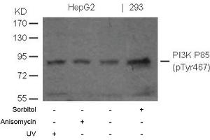 anti-PI3 Kinase P85 alpha (pTyr467) antibody