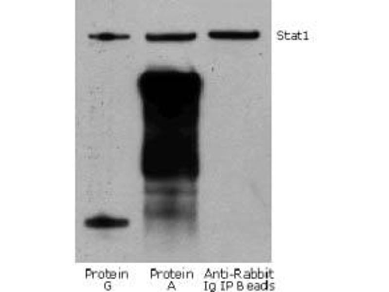 Image no. 2 for Fluorescent TrueBlot®: Anti-Rabbit IgG DyLight™ 800 (ABIN6698840)