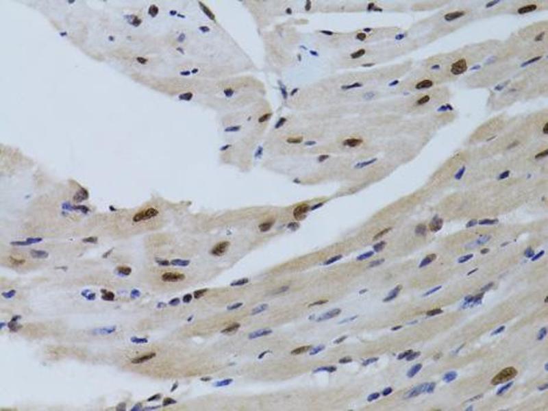 Image no. 1 for anti-Sirtuin 7 (SIRT7) antibody (ABIN6566719)