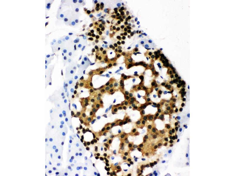 Immunohistochemistry (IHC) image for anti-SGK1 antibody (serum/glucocorticoid Regulated Kinase 1) (AA 27-44) (ABIN3044488)