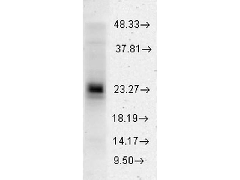 Western Blotting (WB) image for anti-Heat Shock 27kDa Protein 1 (HSPB1) antibody (Atto 488) (ABIN2484346)