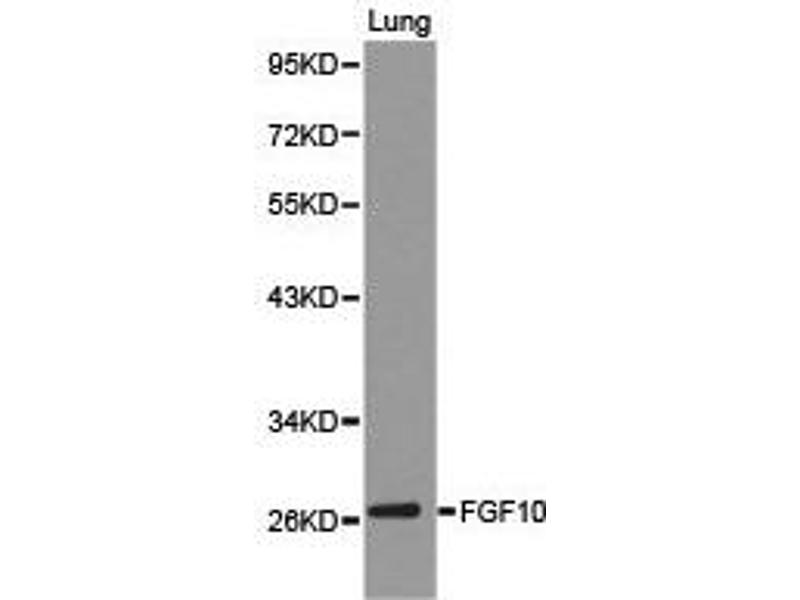 Western Blotting (WB) image for anti-Fibroblast Growth Factor 10 (FGF10) antibody (ABIN1872682)