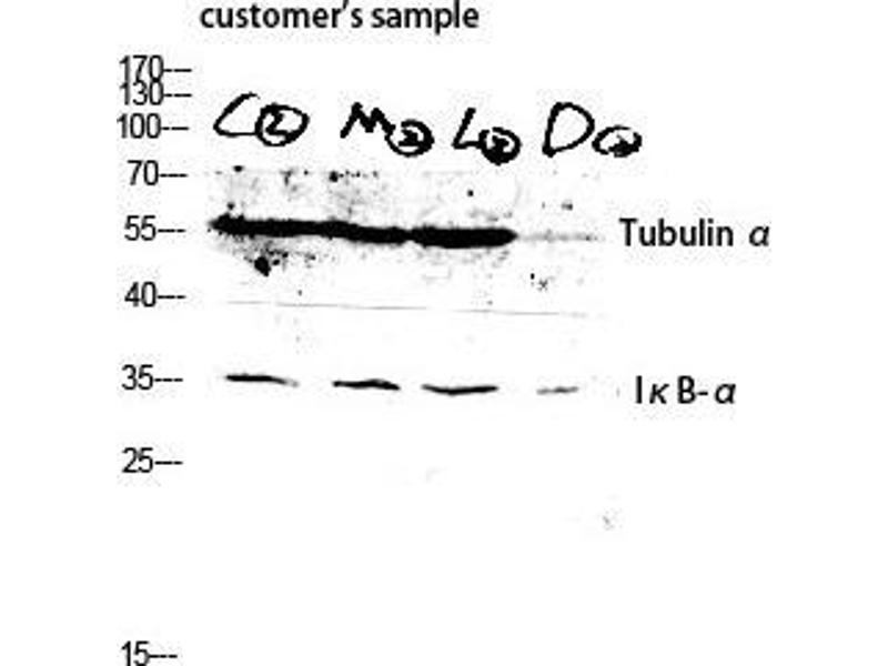 Western Blotting (WB) image for anti-TUBA1A antibody (Tubulin, alpha 1a) (C-Term) (ABIN3187375)