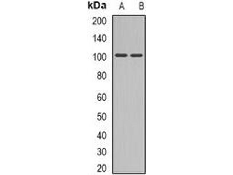 Western Blotting (WB) image for anti-Glutamate Receptor, Ionotrophic, AMPA 4 (GRIA4) (C-Term) antibody (ABIN2957586)