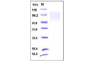 image for Chemokine (C-X3-C Motif) Ligand 1 (CX3CL1) (AA 1-339), (Extracellular Domain) (Active) protein (His tag) (ABIN2003167)