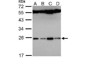 Image no. 1 for anti-Family with Sequence Similarity 9, Member B (FAM9B) (Center) antibody (ABIN2854572)