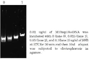 Polymerase Chain Reaction (PCR) image for Taq SSB (Active) protein (ABIN2452212)