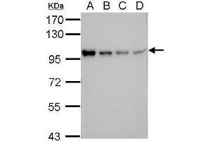 Image no. 1 for anti-Solute Carrier Family 22 (Organic Cation Transporter), Member 1 (SLC22A1) (Center) antibody (ABIN2856060)
