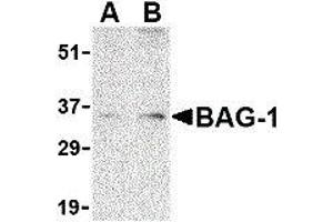 Image no. 1 for anti-BCL2-Associated Athanogene (BAG1) (N-Term) antibody (ABIN2477577)
