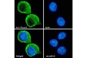 Image no. 1 for anti-PYD and CARD Domain Containing (PYCARD) (Internal Region) antibody (ABIN1590015)