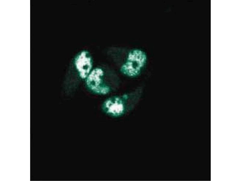 Immunofluorescence (IF) image for anti-PCNA antibody (Proliferating Cell Nuclear Antigen) (AA 68-230) (ABIN968097)