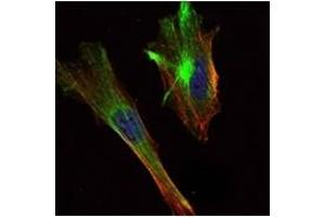 Immunofluorescence (IF) image for anti-CRTC2 antibody (CREB Regulated Transcription Coactivator 2) (ABIN1106840)