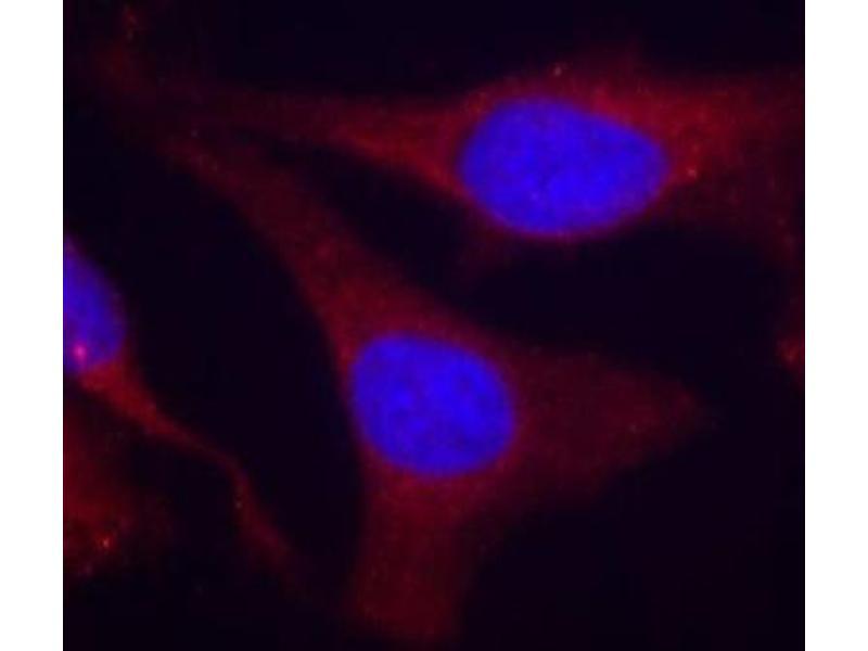 Immunofluorescence (IF) image for anti-Protein-tyrosine Phosphatase 1C (PTPN6) (pTyr536) antibody (ABIN2988270)