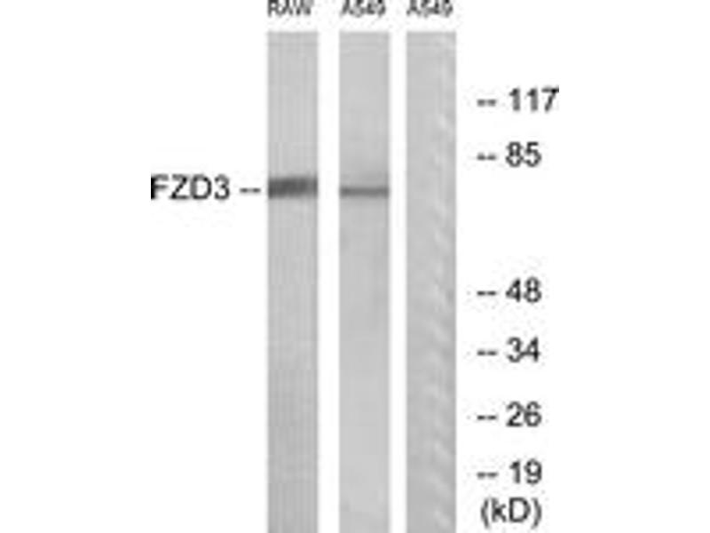 Western Blotting (WB) image for anti-Frizzled Family Receptor 3 (FZD3) (AA 141-190) antibody (ABIN1535610)