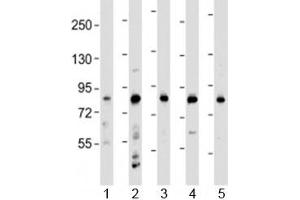 Image no. 1 for anti-Leucine-Rich Repeats and Calponin Homology (CH) Domain Containing 4 (LRCH4) (AA 305-348) antibody (ABIN5647818)