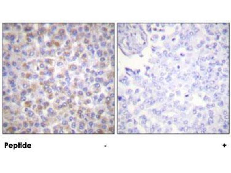 Image no. 3 for anti-Tyrosine 3-Monooxygenase/tryptophan 5-Monooxygenase Activation Protein, zeta Polypeptide (YWHAZ) antibody (ABIN5591097)