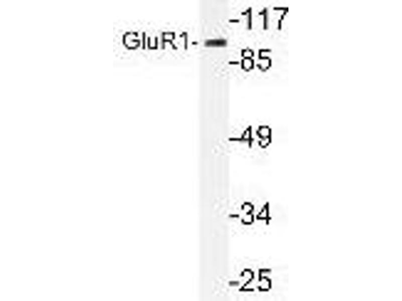 Western Blotting (WB) image for anti-GRIA1 antibody (Glutamate Receptor, Ionotropic, AMPA 1) (Ser857) (ABIN447063)