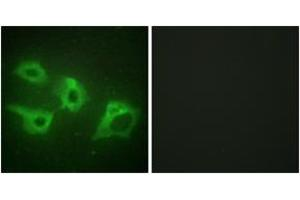 Immunofluorescence (IF) image for anti-Casein Kinase 1, alpha 1 (CSNK1A1) (AA 126-175) antibody (ABIN1533743)