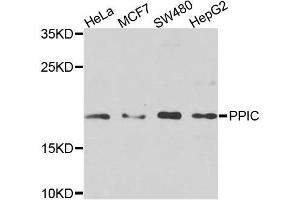 Image no. 1 for anti-Peptidylprolyl Isomerase C (Cyclophilin C) (PPIC) antibody (ABIN6146023)