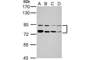 Image no. 2 for anti-Far Upstream Element (FUSE) Binding Protein 1 (FUBP1) (Center) antibody (ABIN2855856)