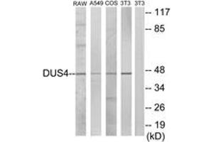 Image no. 1 for anti-Dual Specificity Phosphatase 4 (DUSP4) (AA 81-130) antibody (ABIN1533856)
